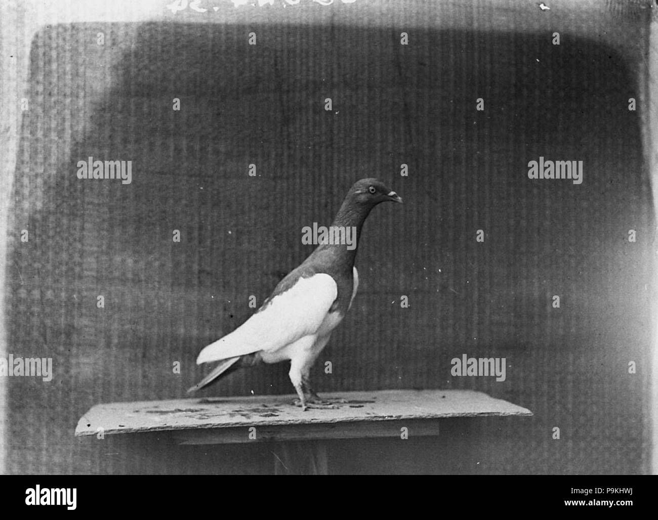 Racing Pigeon Black and White Stock Photos & Images - Alamy