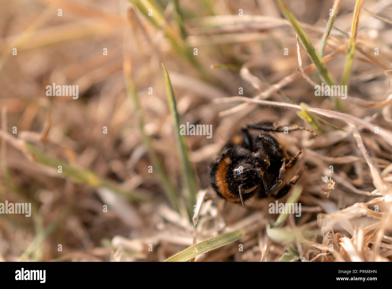 Poole, UK. 19th July 2018. Heatwave with very dry weather continues in the UK. Grass is turned brown and a bumble-bee is found dead. Credit: Thomas Faull/Alamy Live News Stock Photo