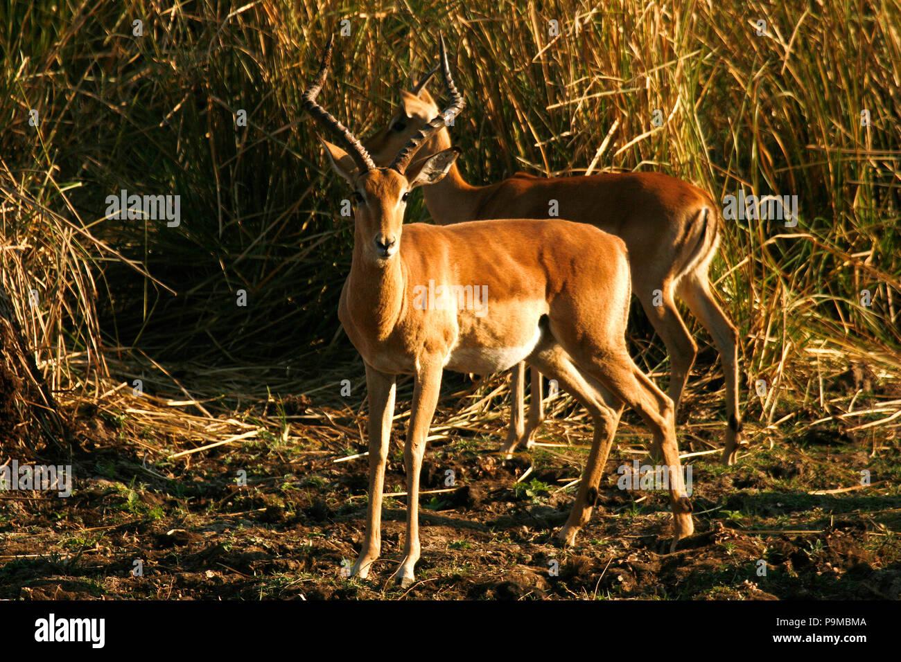 Impala, Aepyceros melampus in Mana Pools National Park.  Zimbabwe - Stock Image