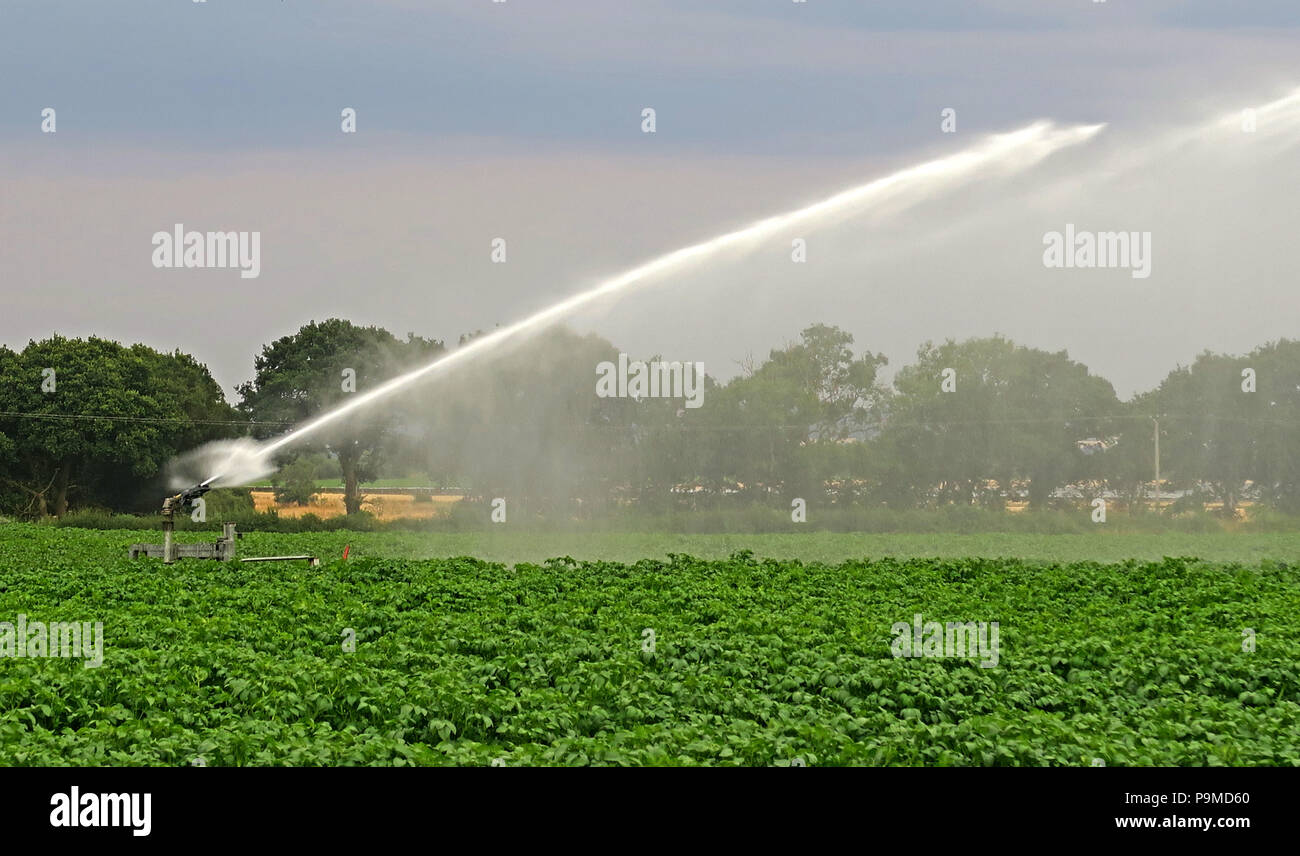 Water sprinkler in a Yorkshire Crop field of potatoes, Summer, England, UK - Stock Image