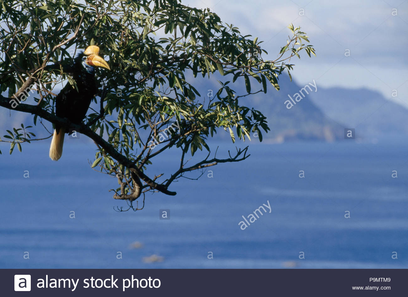 A female red knobbed hornbill perches on a tree branch. - Stock Image