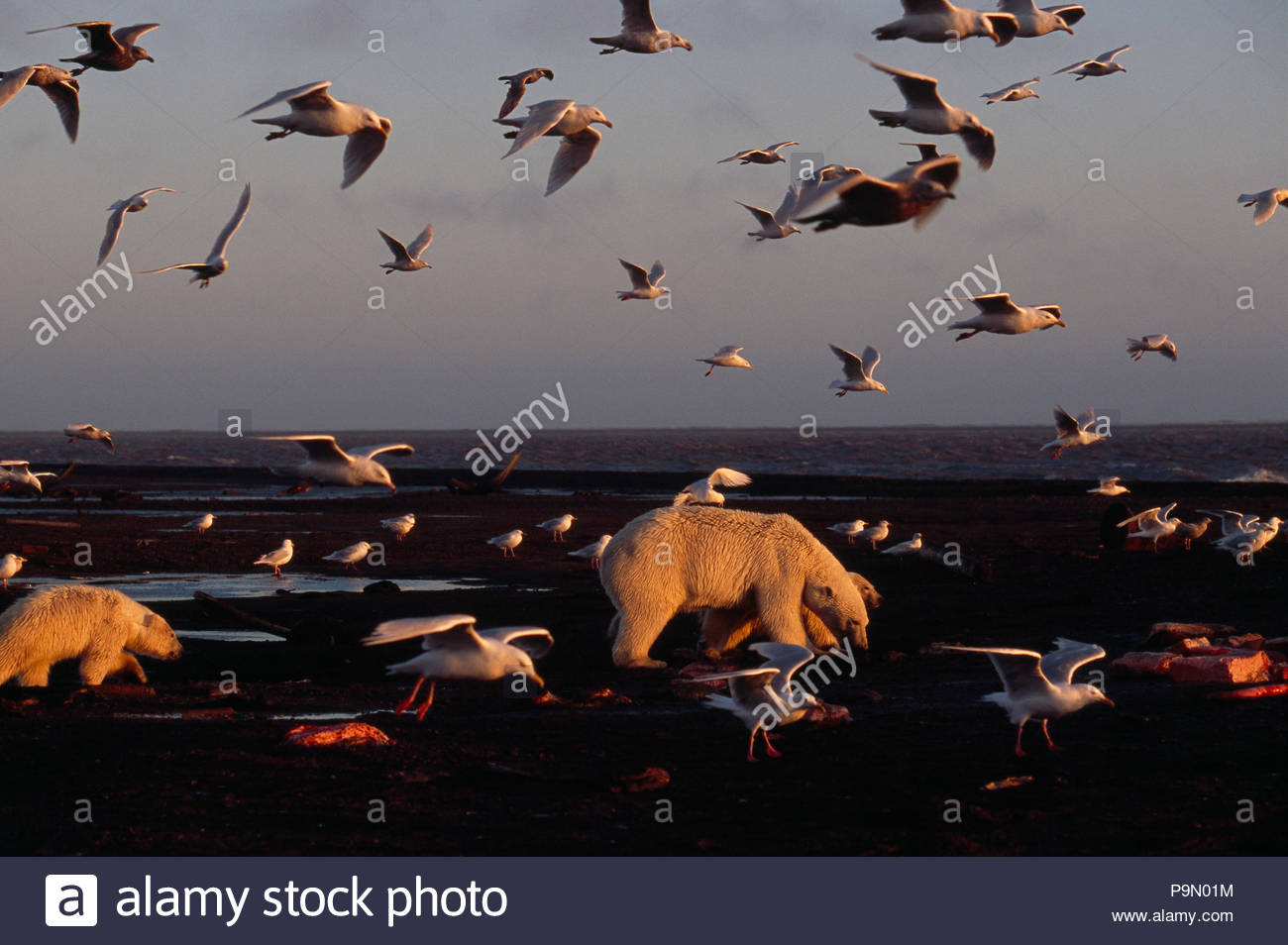 Polar bear and her cubs scavenge on a beach surrounded by gulls. - Stock Image