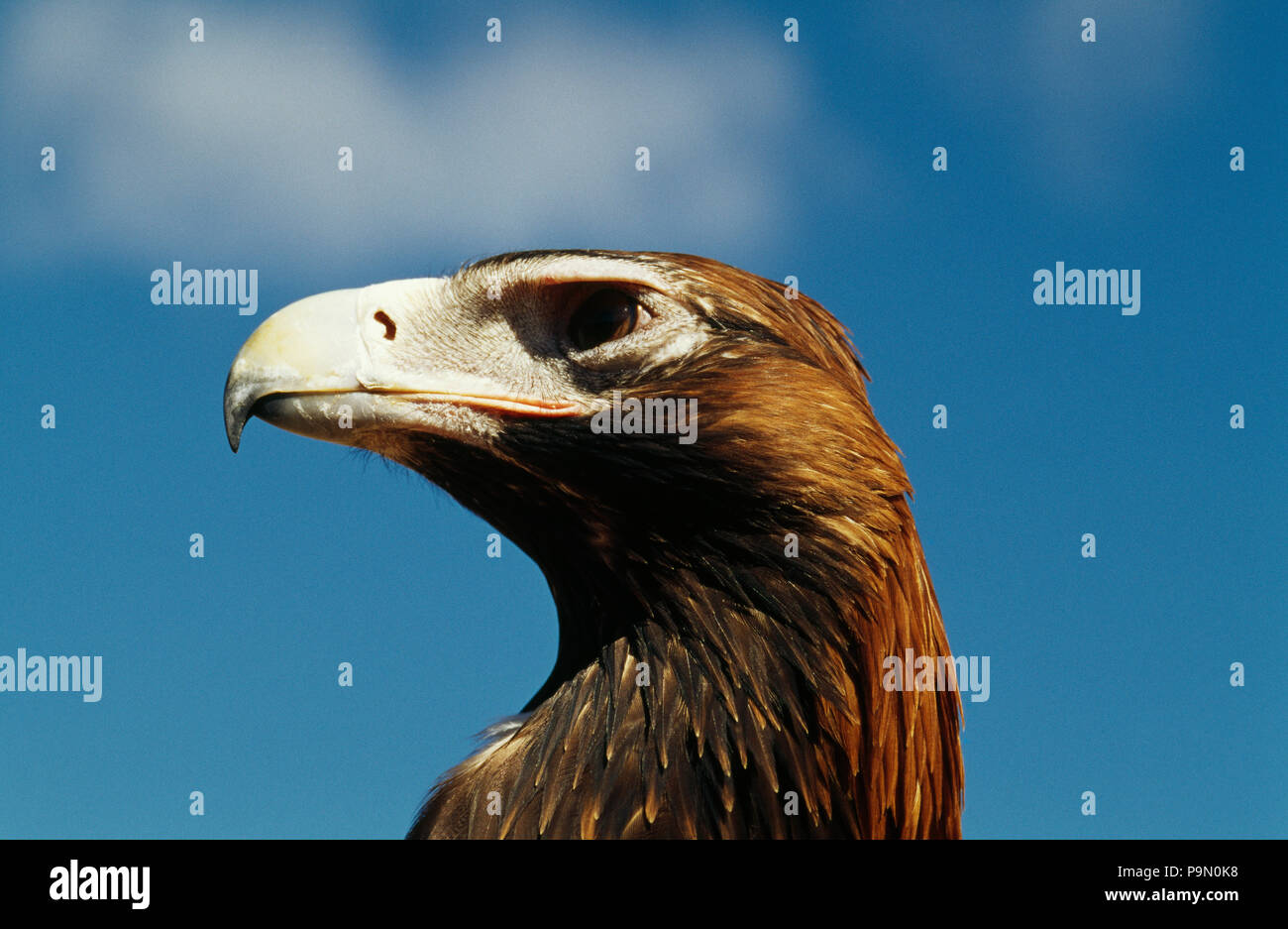 The hooked beak and eye of a wedge tailed eagle. Stock Photo