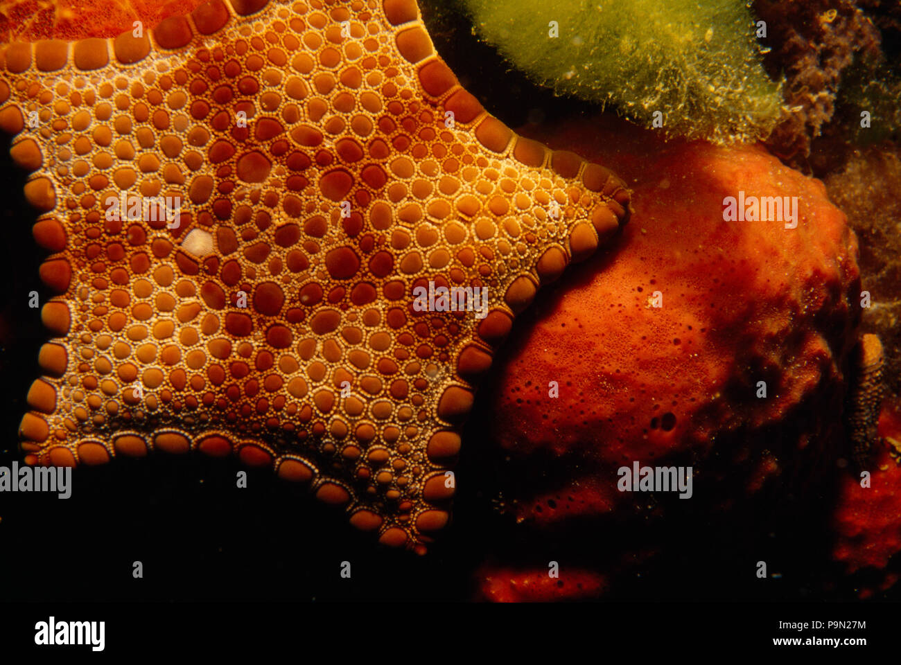 A bright red biscuit sea star on soft coral. - Stock Image