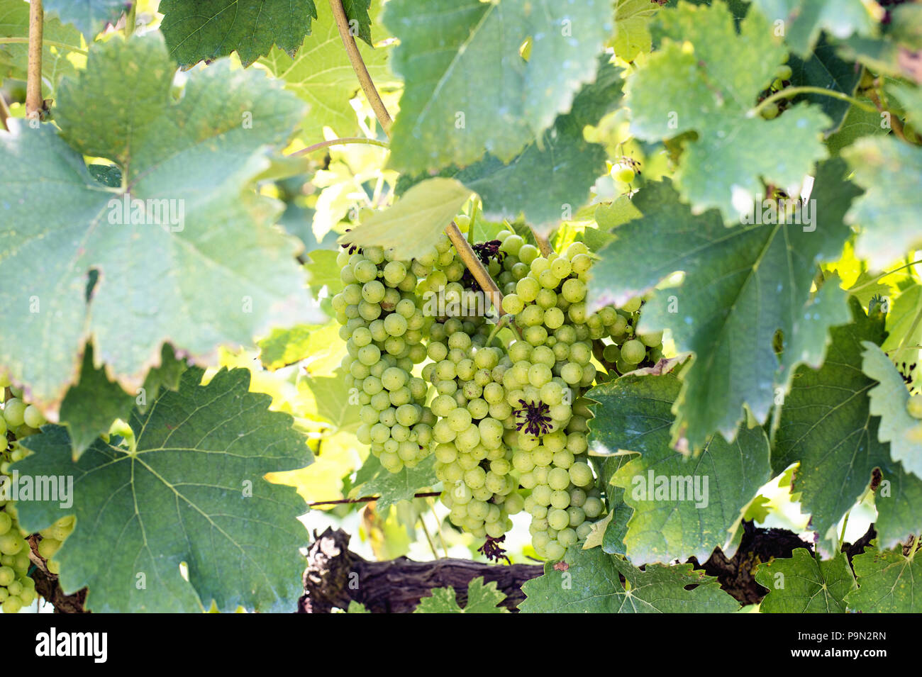 Green grapes harvest in vineyard in Tirana countryside - Stock Image