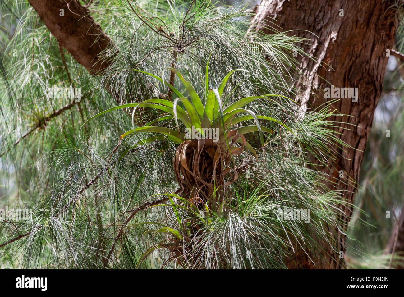 Giant airplant (Tillandsia utriculata) bromeliad growing on Australian pine tree (Casuarina equisetifolia). Endangered in Florida due to weevils - Stock Image