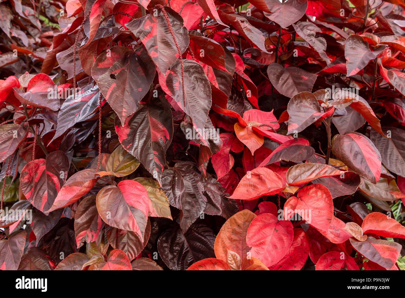 Copperleaf Plant Acalypha Amentacea Wilkesiana Red Leaves