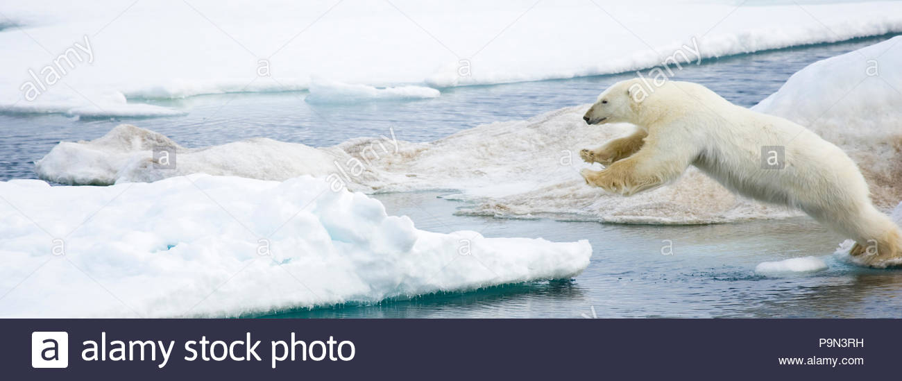 Polar bear, Ursus maritimus, leaping on pack ice at water's edge. - Stock Image