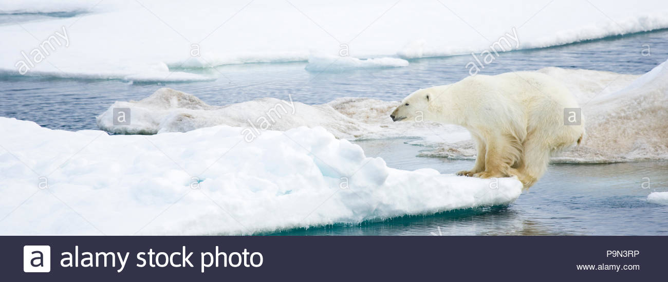 Polar bear, Ursus maritimus, on pack ice at water's edge. - Stock Image