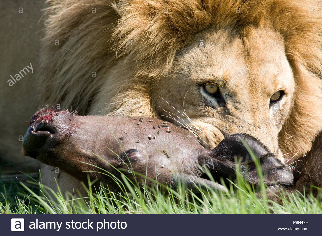 A lion with a freshly killed water buffalo. - Stock Image