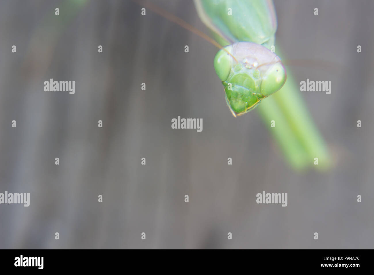 A close up of preying mantis on a wall looking right at you with those bulging eyes. - Stock Image