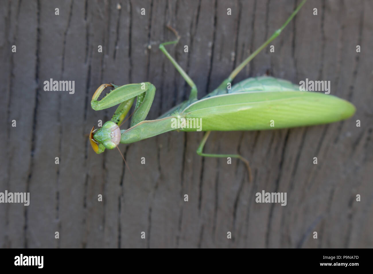 A preying mantis on a wall looking up, right at you Stock Photo