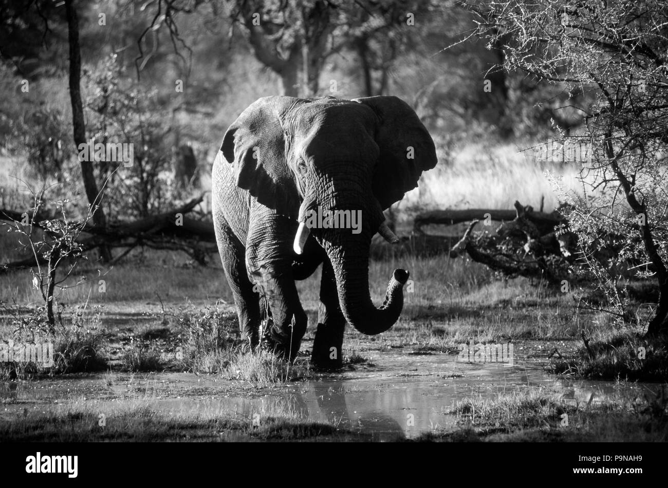An AFRICAN ELEPHANT (Loxodanta Africana) walking across the OKAVANGO DELTA - BOTSWANA - Stock Image