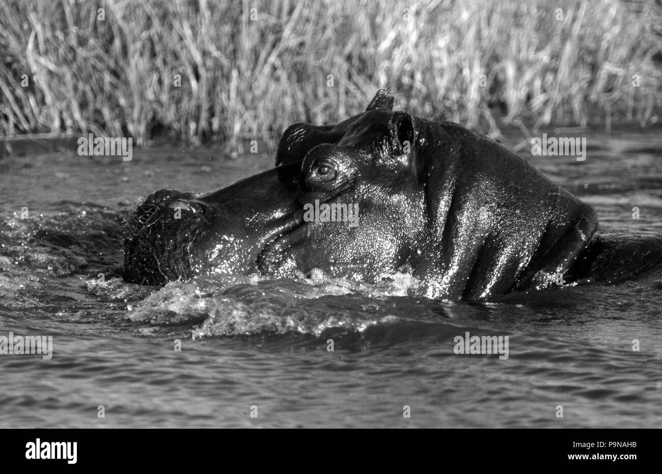 HIPPOS (Hippopatamus Amphibius) are very territorial & spend most of the day in the water - MOREMI GAME RESERVE - Stock Image