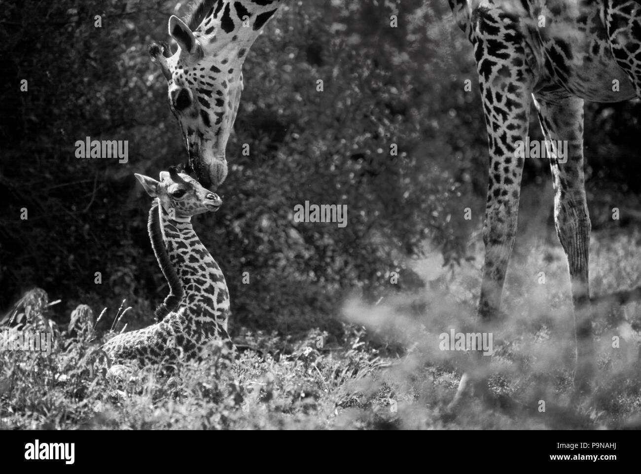 A newborn MAASAI GIRAFFE (Giraffa Camelopardalis) is so young it has not yet stood up - TANZANIA, LAKE MANYARA NATIONAL PARK - Stock Image