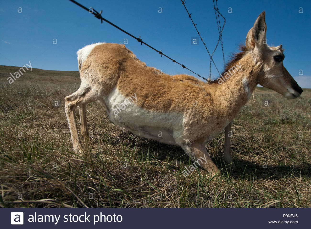 A pronghorn antelope sneaks under a barbed wire fence. - Stock Image