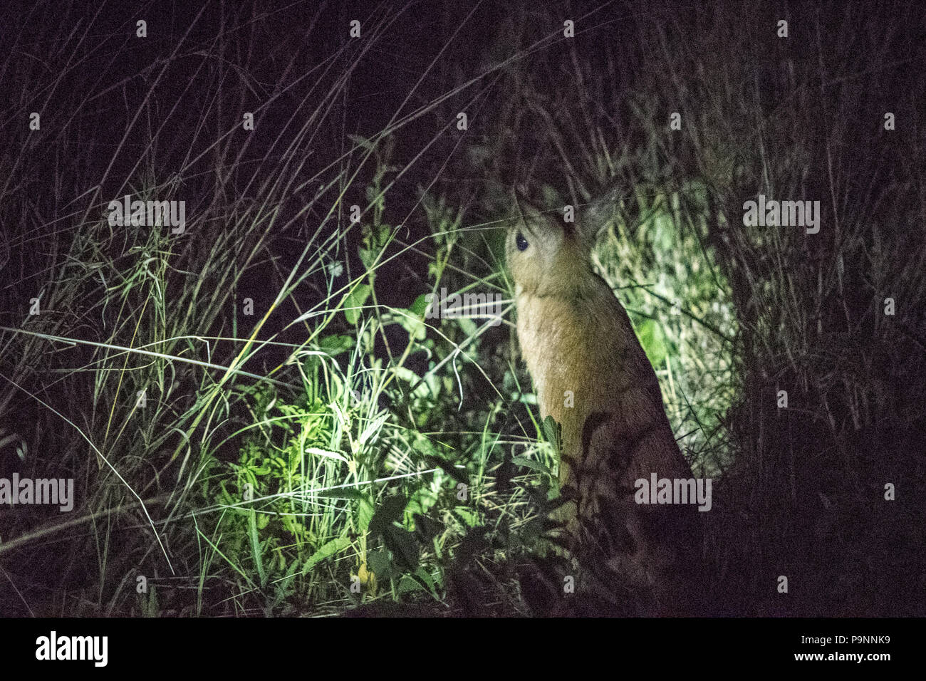 An African springhare is spotted at nighttime amongst the brush in Hwange National Park. Hwange, Zimbabwe Stock Photo