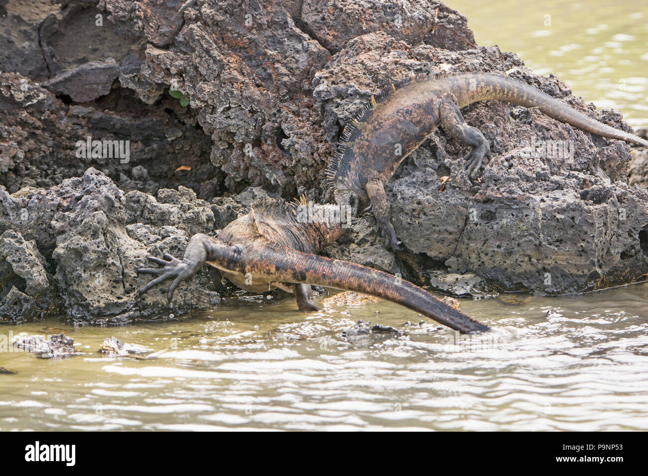 Marine Iguanas Fighting For Dominance in the Galapagos - Stock Image