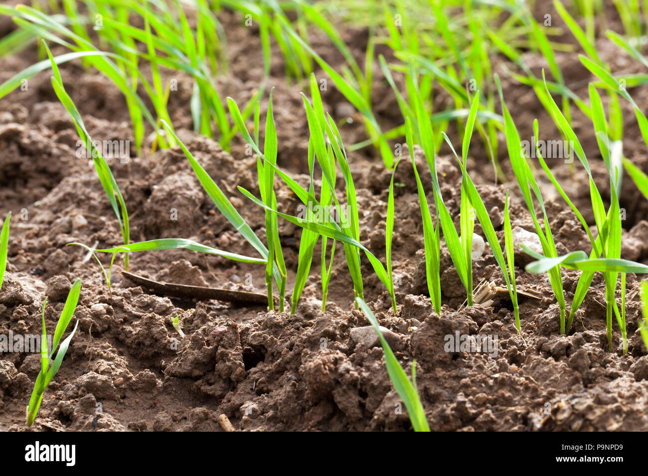 agriculture for the production of wheat, photo close-up from the agricultural field, where the stems of a new crop sprouted - Stock Image