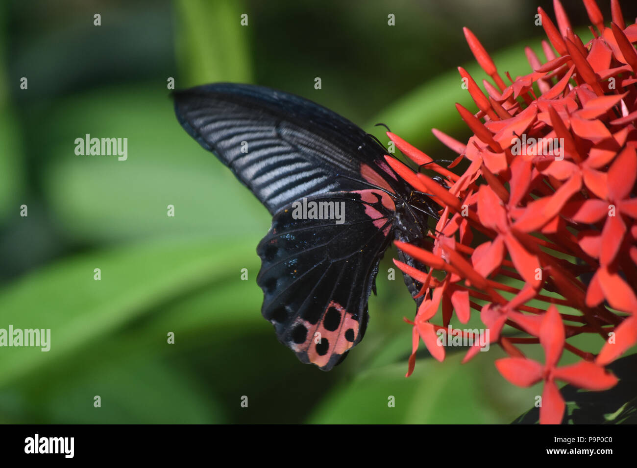 Scarlet swallowtail butterfly with distinctive red and black markings. - Stock Image