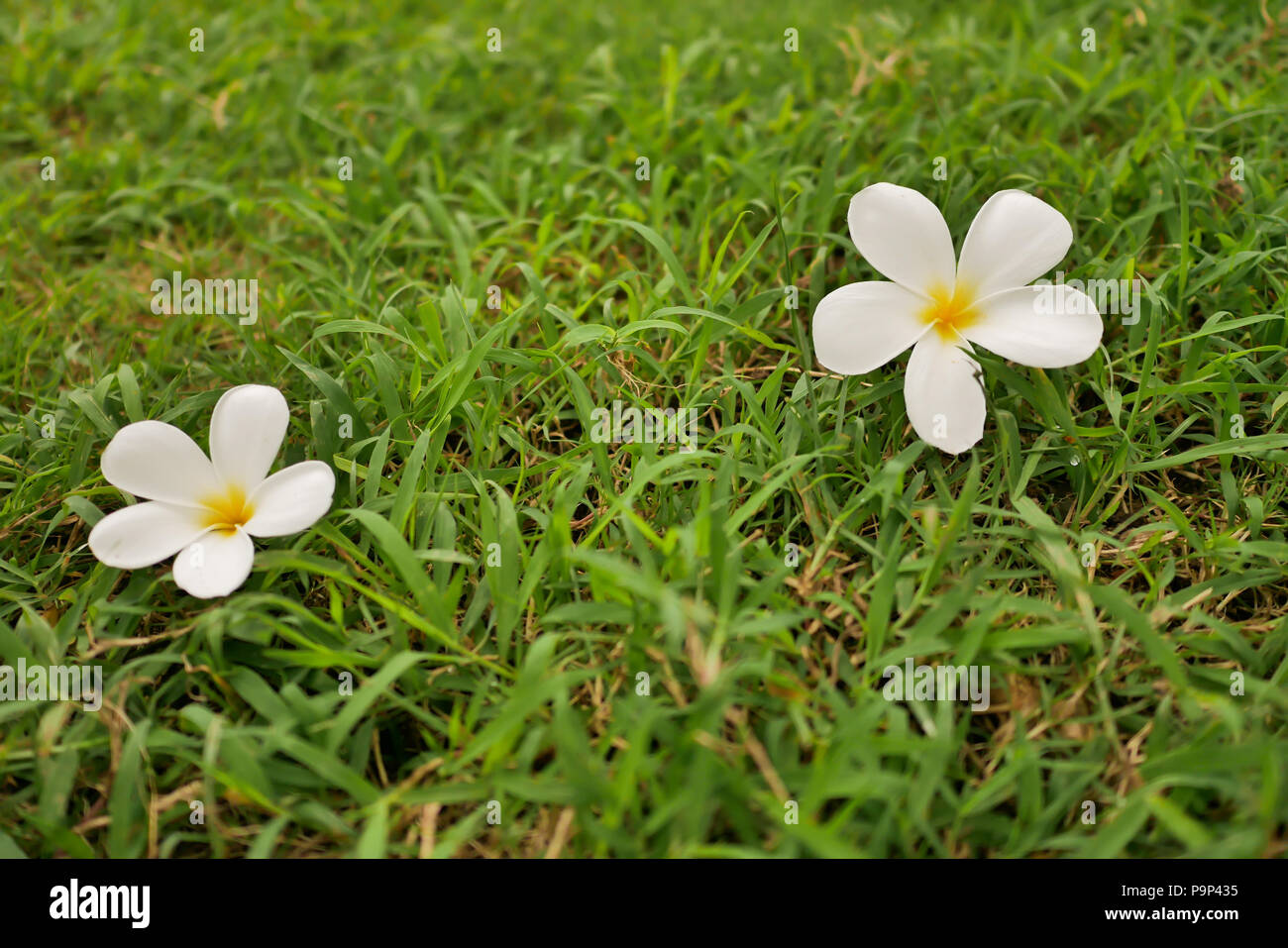 Two plumplaints fall on the green grass. Select focus shallow depth of field and blurred background with copy space - Stock Image