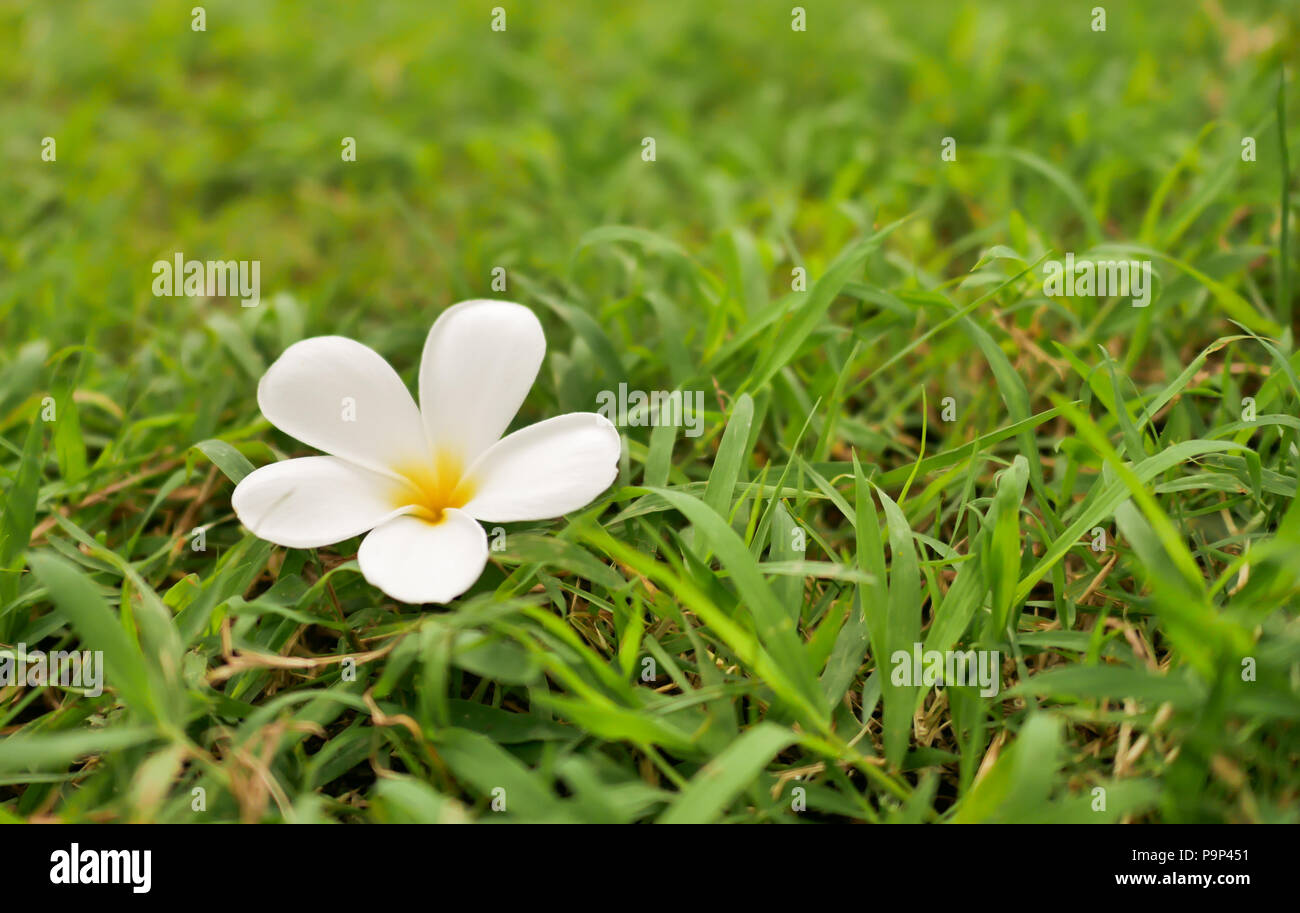 one plumplaints fall on the green grass. Select focus shallow depth of field and blurred background with copy space - Stock Image