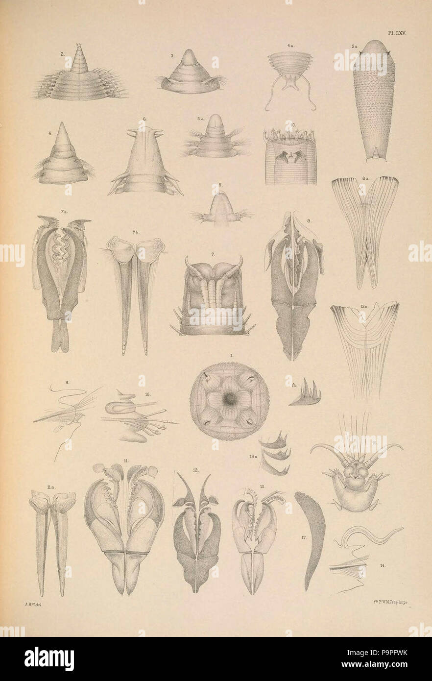 A monograph of the British marine annelids 1908 LXV. - Stock Image
