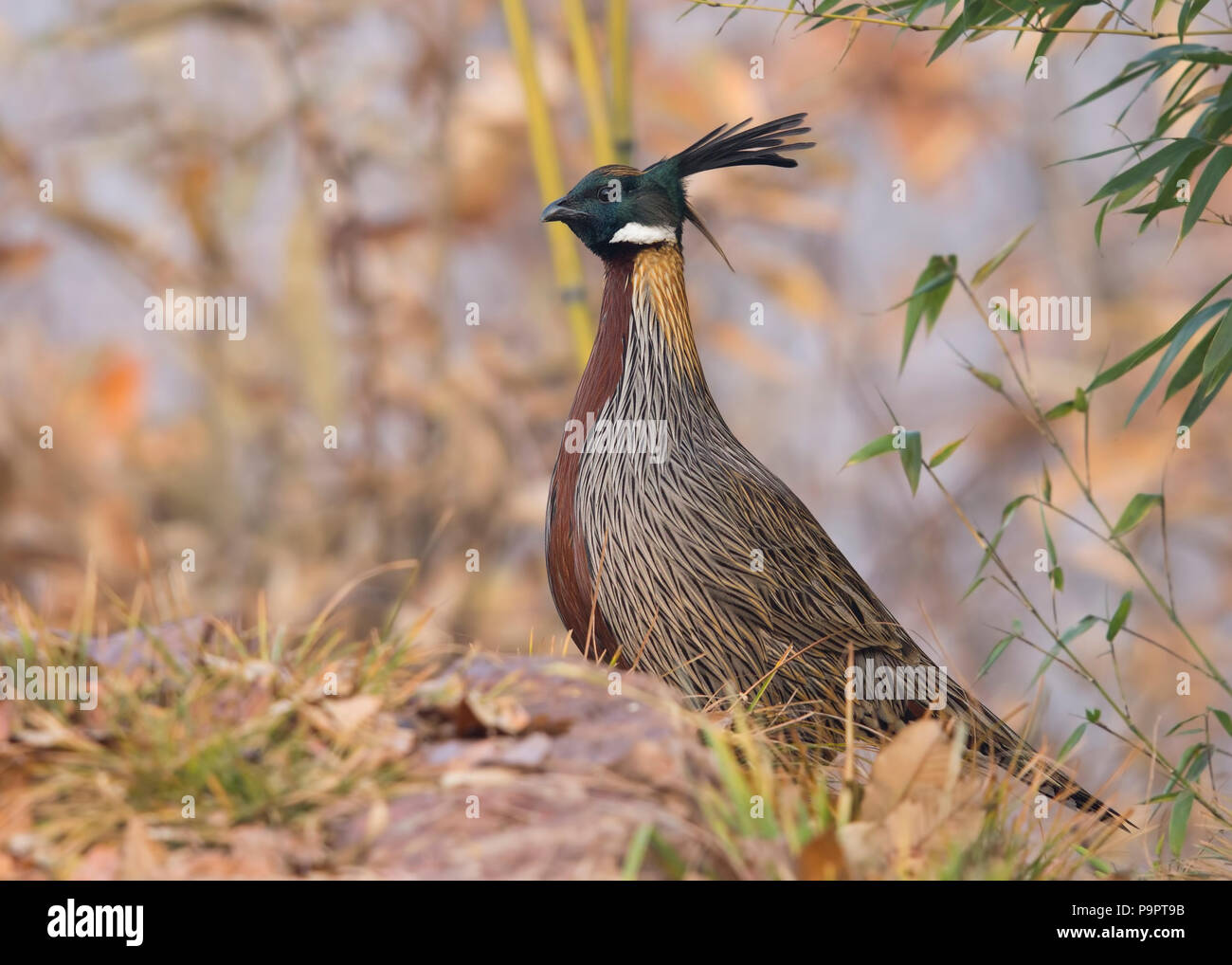 The Dweller of Steep Slopes , enigma on the mountains - Koklass Pheasant on a cold winter morning in Henan province of China. - Stock Image