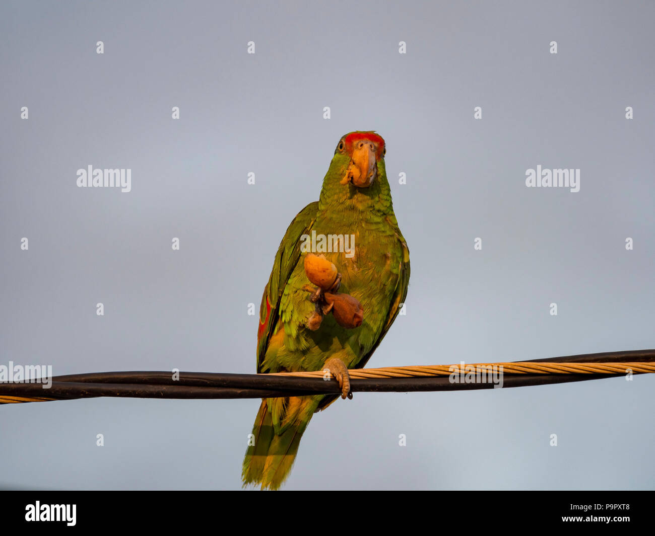 Chinese Parrot Stock Photos & Chinese Parrot Stock Images