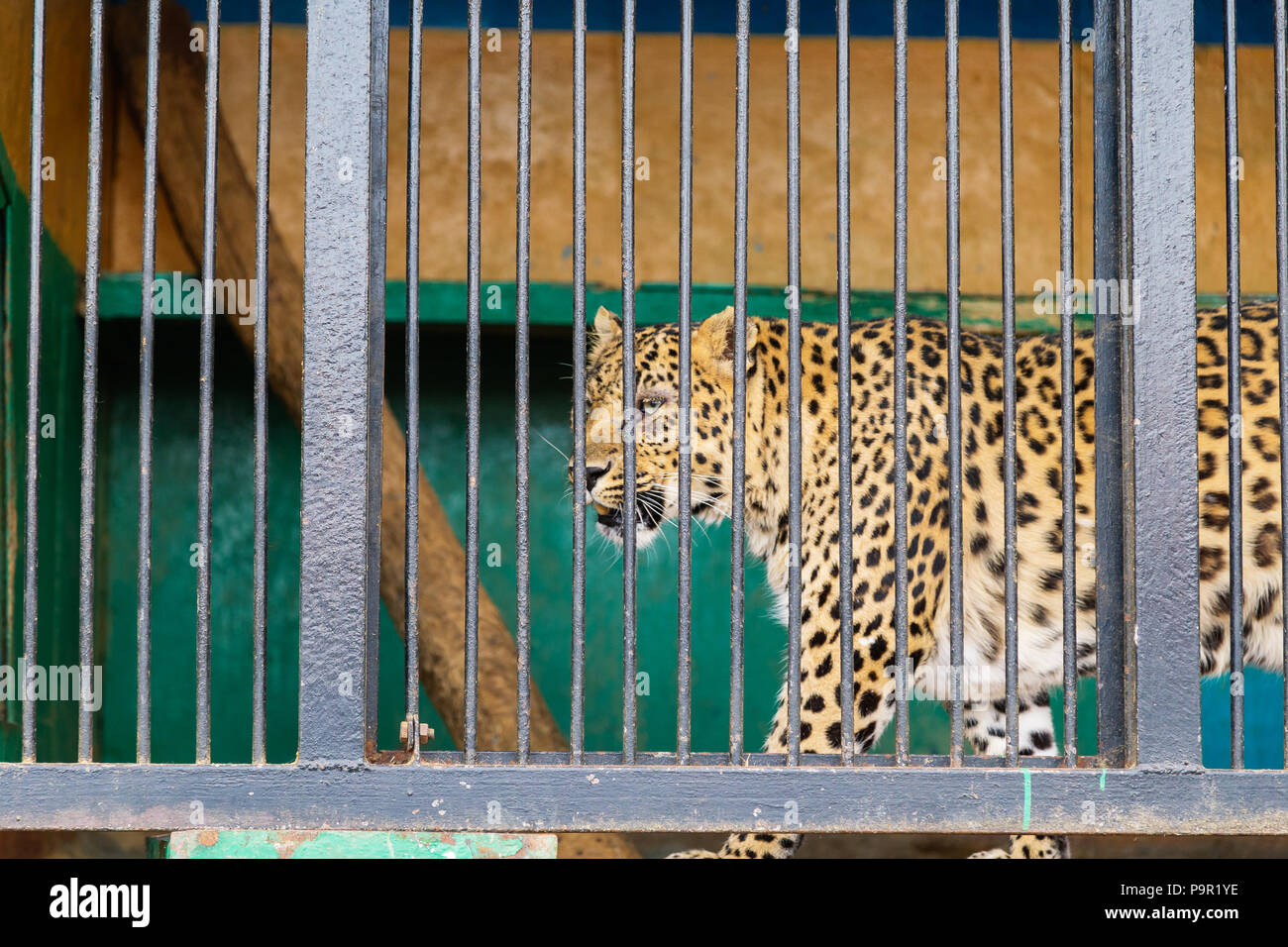 Sorrowful cheetah looking from the cage.Cheetah in the cage - Stock Image