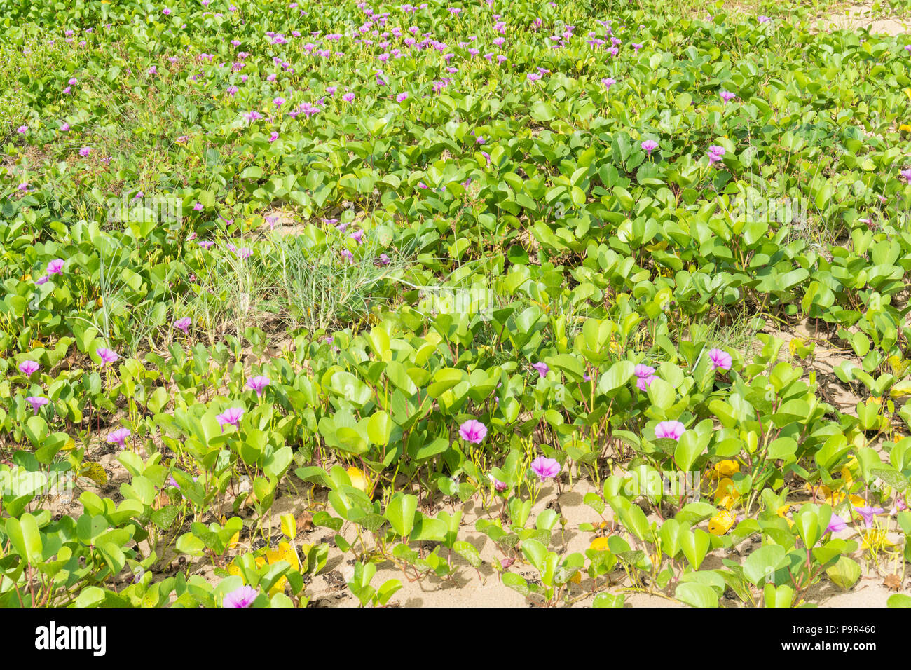 Beach Morning Glory or Goat's Foot Creeper texture background on the beach. Natural beach morning glory or Goat's foot creeper - Stock Image