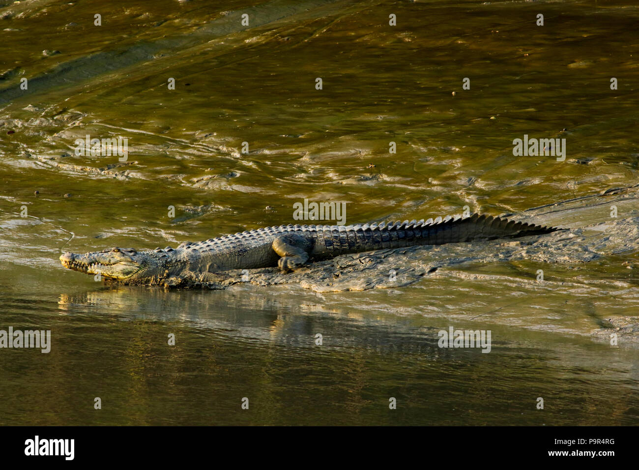 A salt-water crocodile at the Sundarbans, a UNESCO World Heritage Site and a wildlife sanctuary. Bagerhat, Bangladesh. - Stock Image