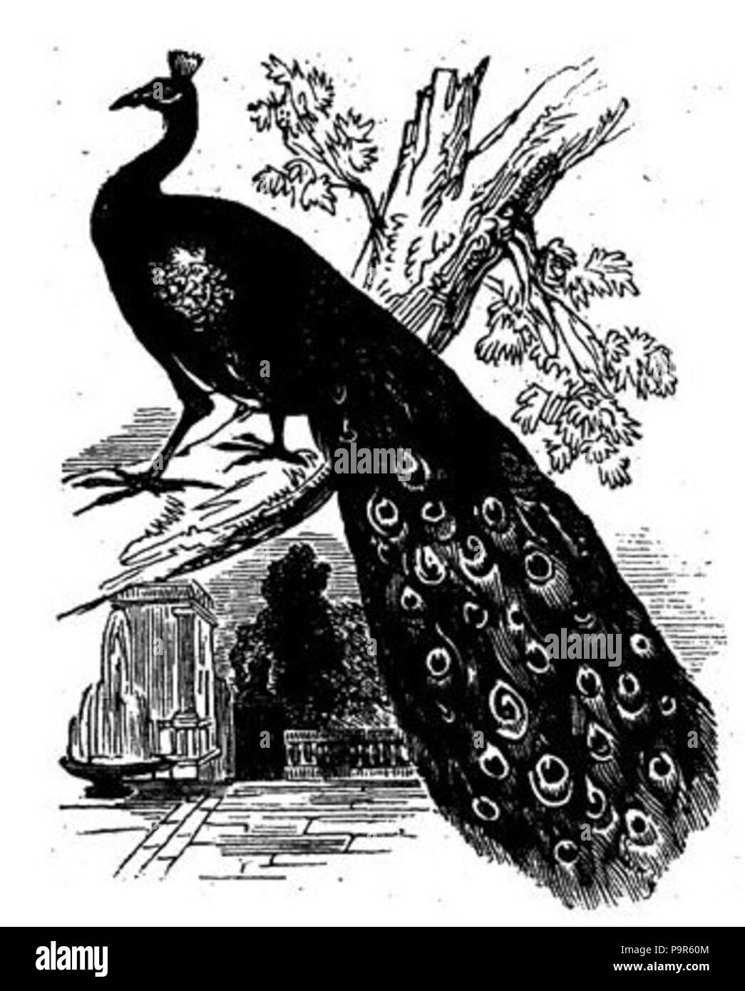 208 Black and White Peacock Drawing Stock Photo: 212565940 - Alamy