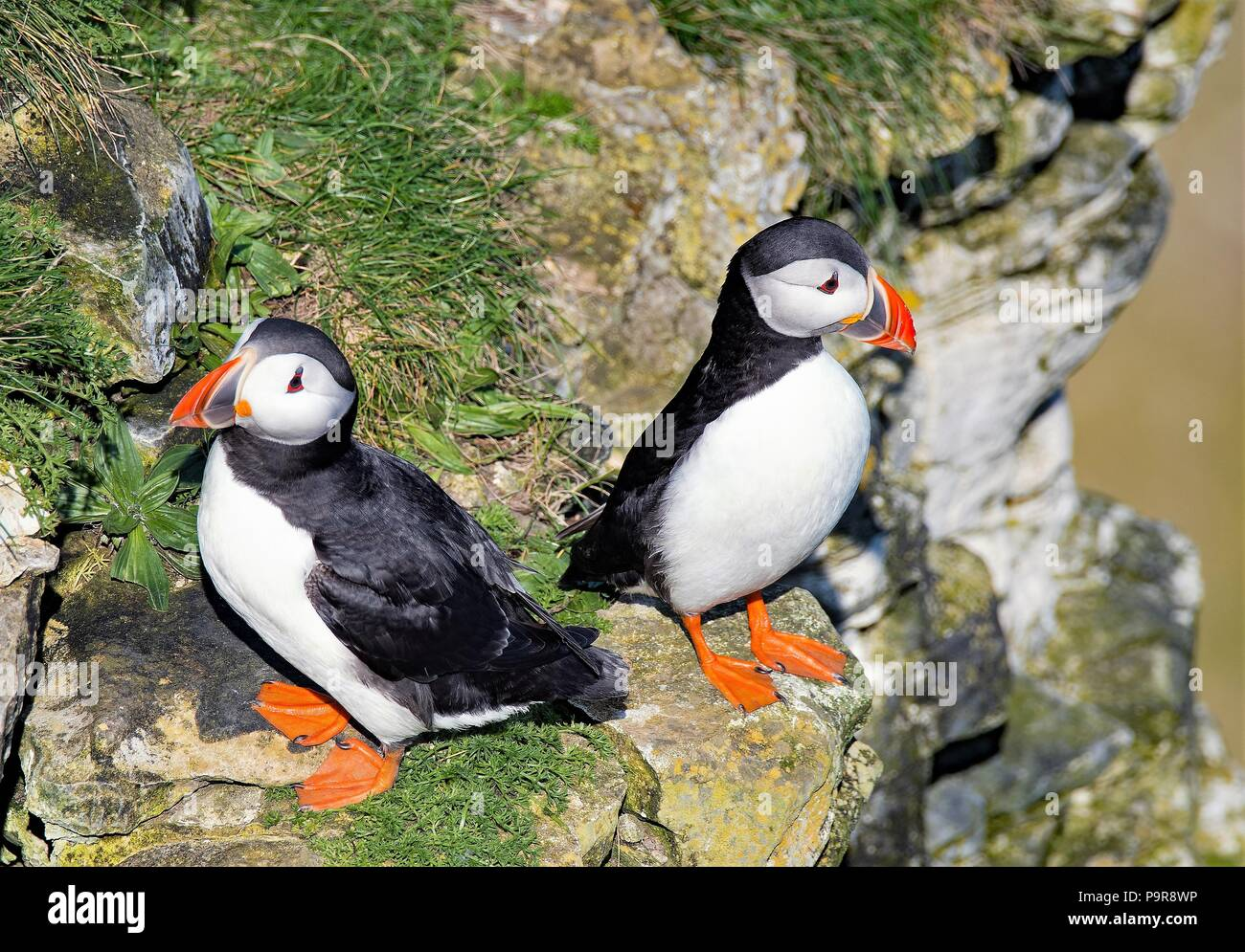 Taken to capture the clown like relationship between a pair of Puffins in Spring. - Stock Image