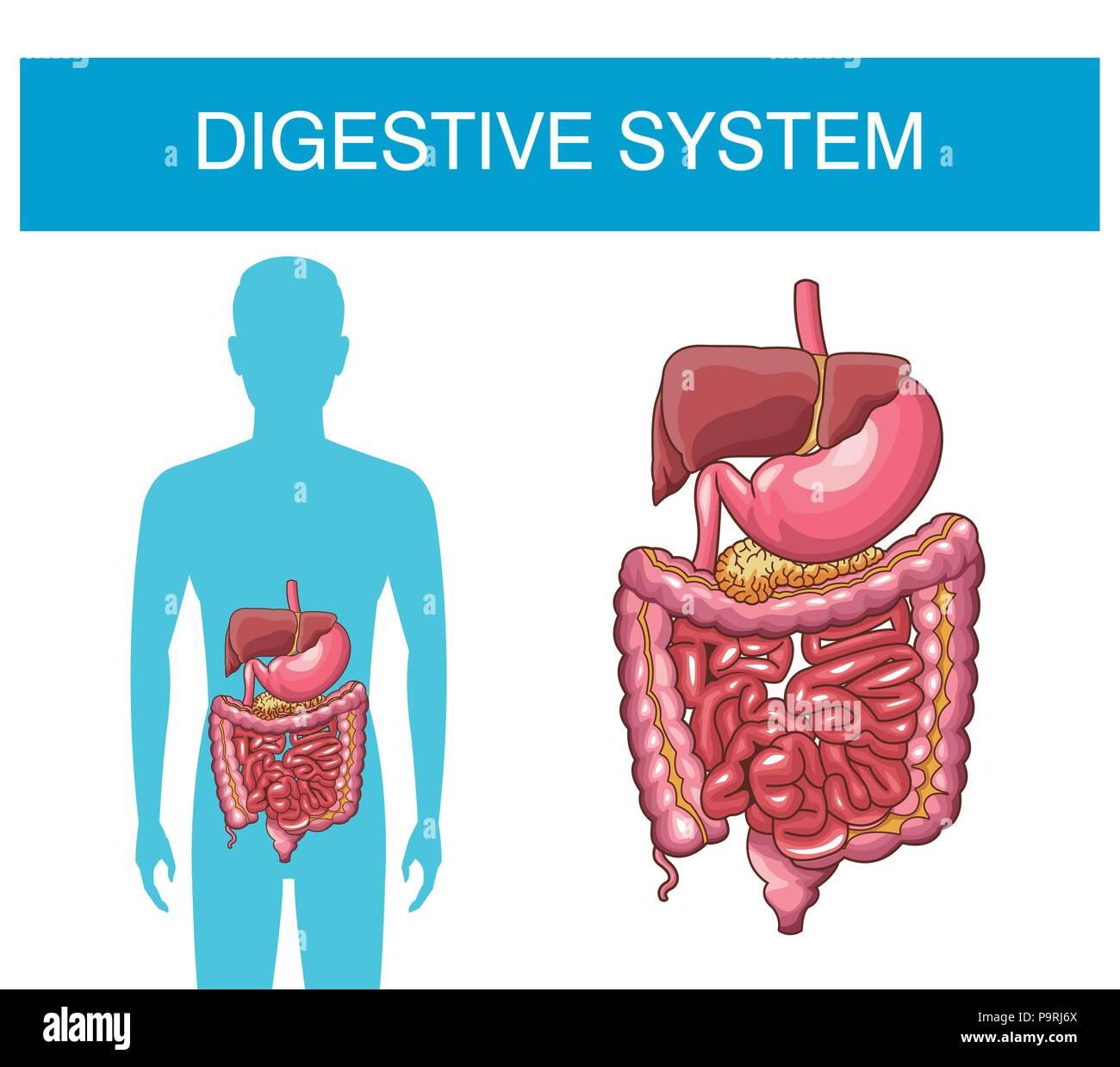 Digestive System Human Organs Vector Illustration Graphic Design Torso Diagram