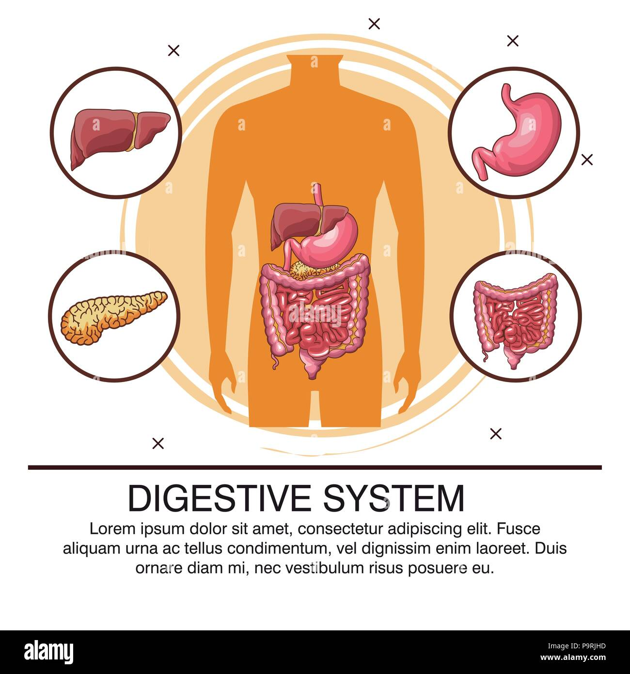 Digestive System Infographic With Information Vector Illustration