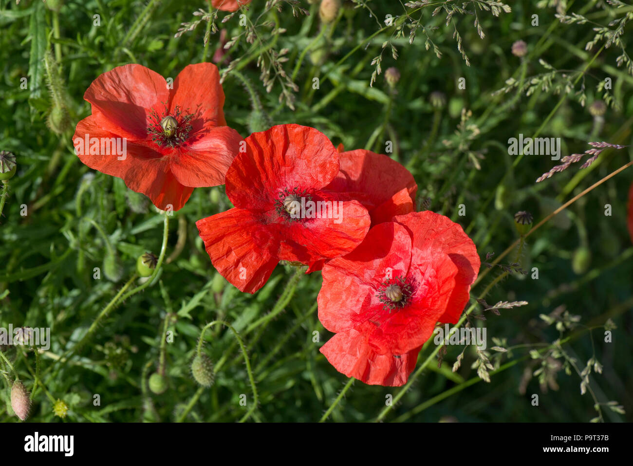 Scarlet red flowers of long-headed poppy, Papaver dubium, in summer, Berkshire, June - Stock Image