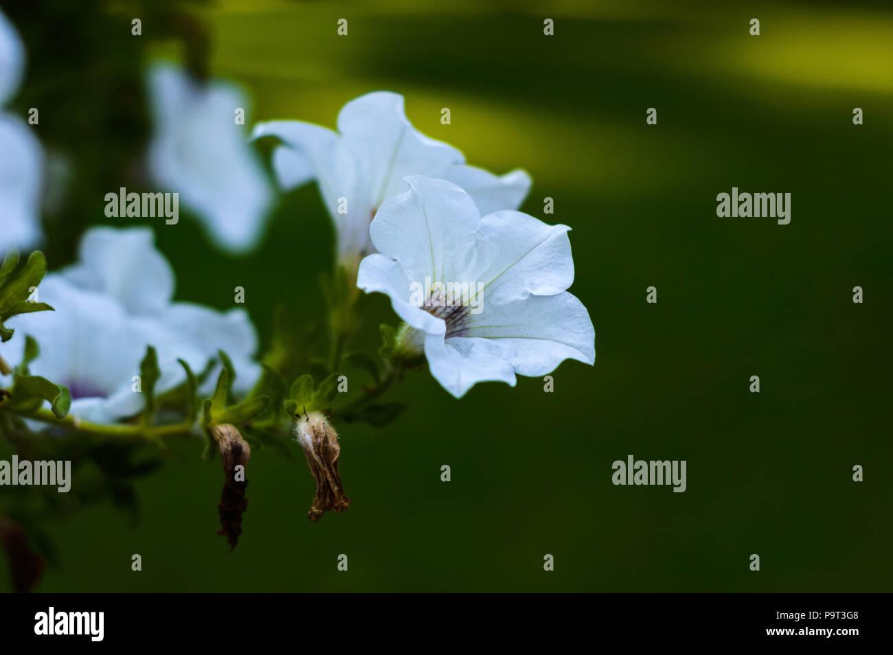 a beautiful morning glory flower - Stock Image