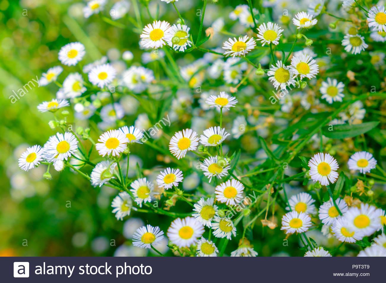 Daisy white flower yellow pollen in clump garden soft stock photo daisy white flower yellow pollen in clump garden soft izmirmasajfo