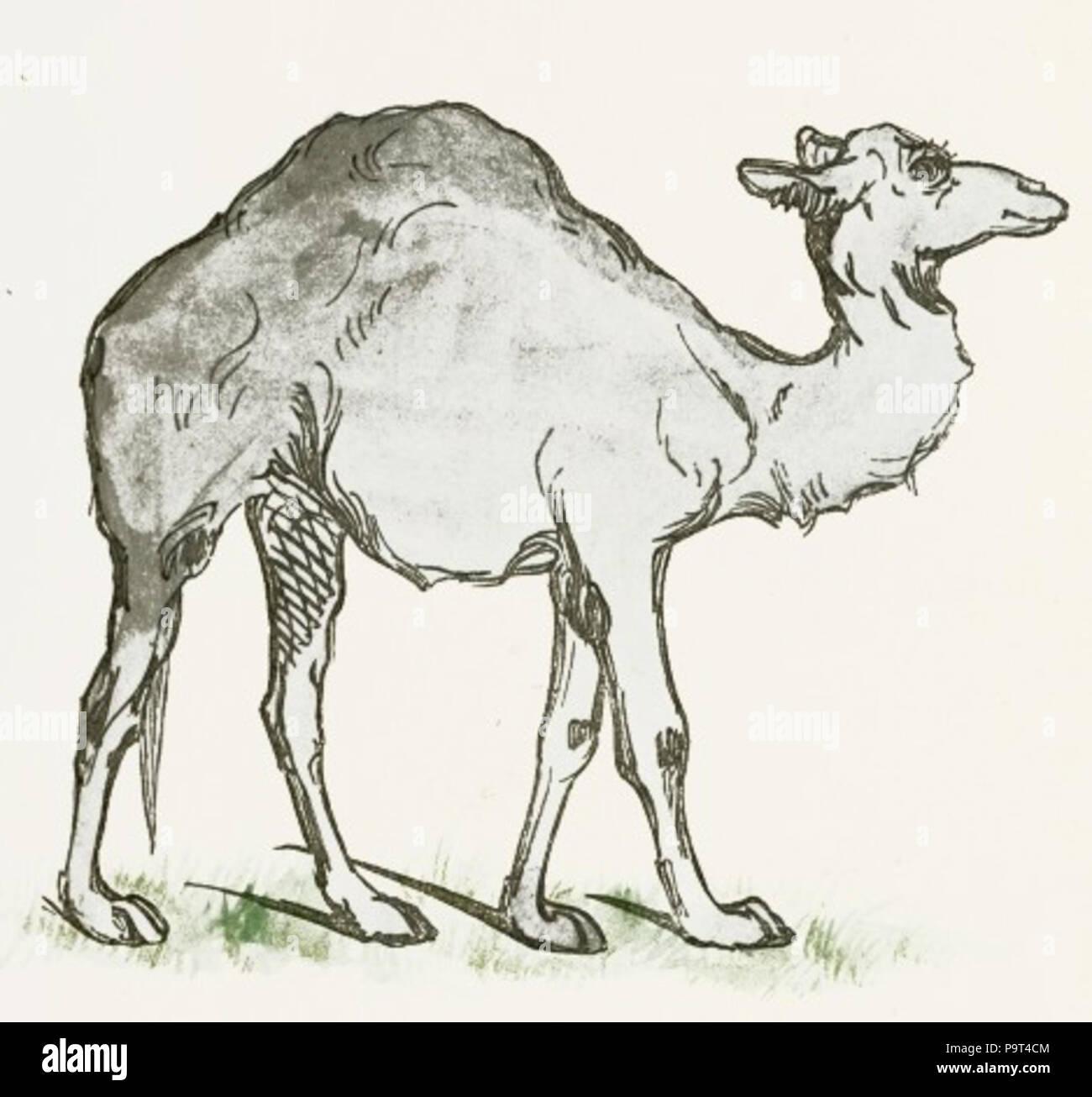 Camel Drawing Stock Photos & Camel Drawing Stock Images - Alamy