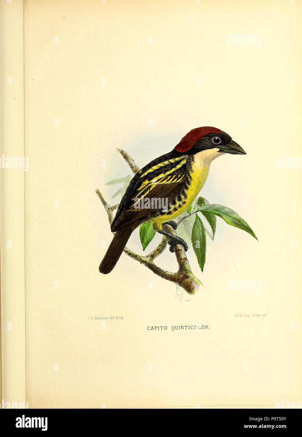 A monograph of the Capitonidæ, or scansorial barbets (Pl. (LXV)) - Stock Image