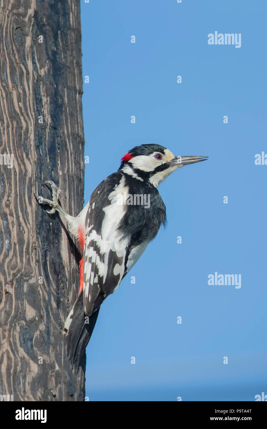 Male White-winged Woodpecker from the far west Xinjiang province, China - Stock Image