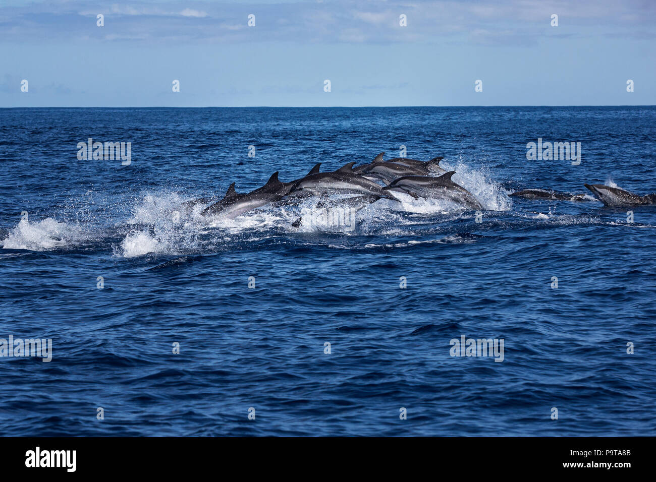 Big group of dolphins jumping from the ocean - Stock Image