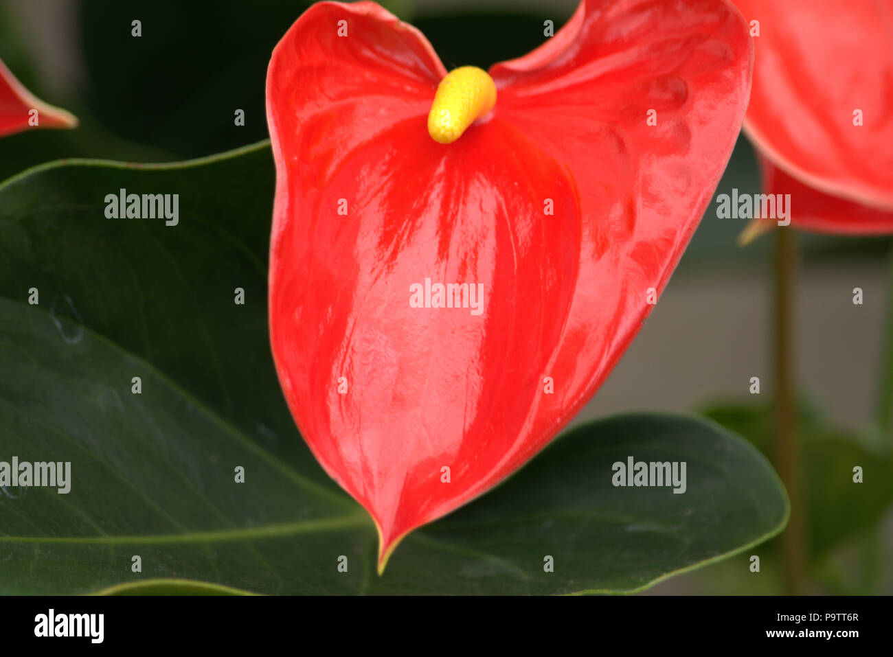 Red peace lily stock photos red peace lily stock images alamy red and yellow peace lily flamingo flower stock image izmirmasajfo