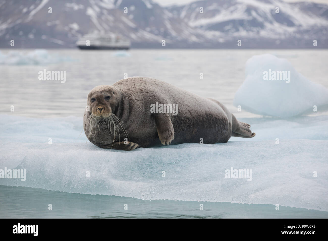 Bearded Seal (Erignathus barbatus) on an ice floe in Svalbard with an expedition cruise ship in the background - Stock Image