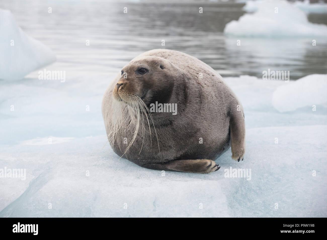 Bearded Seal (Erignathus barbatus) on an ice floe in Svalbard - Stock Image