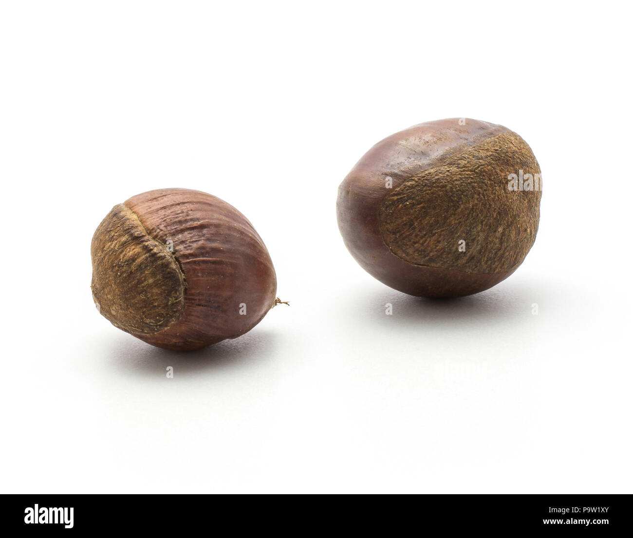 Two European chestnuts Spanish edible isolated on white background raw fresh brown nuts Stock Photo