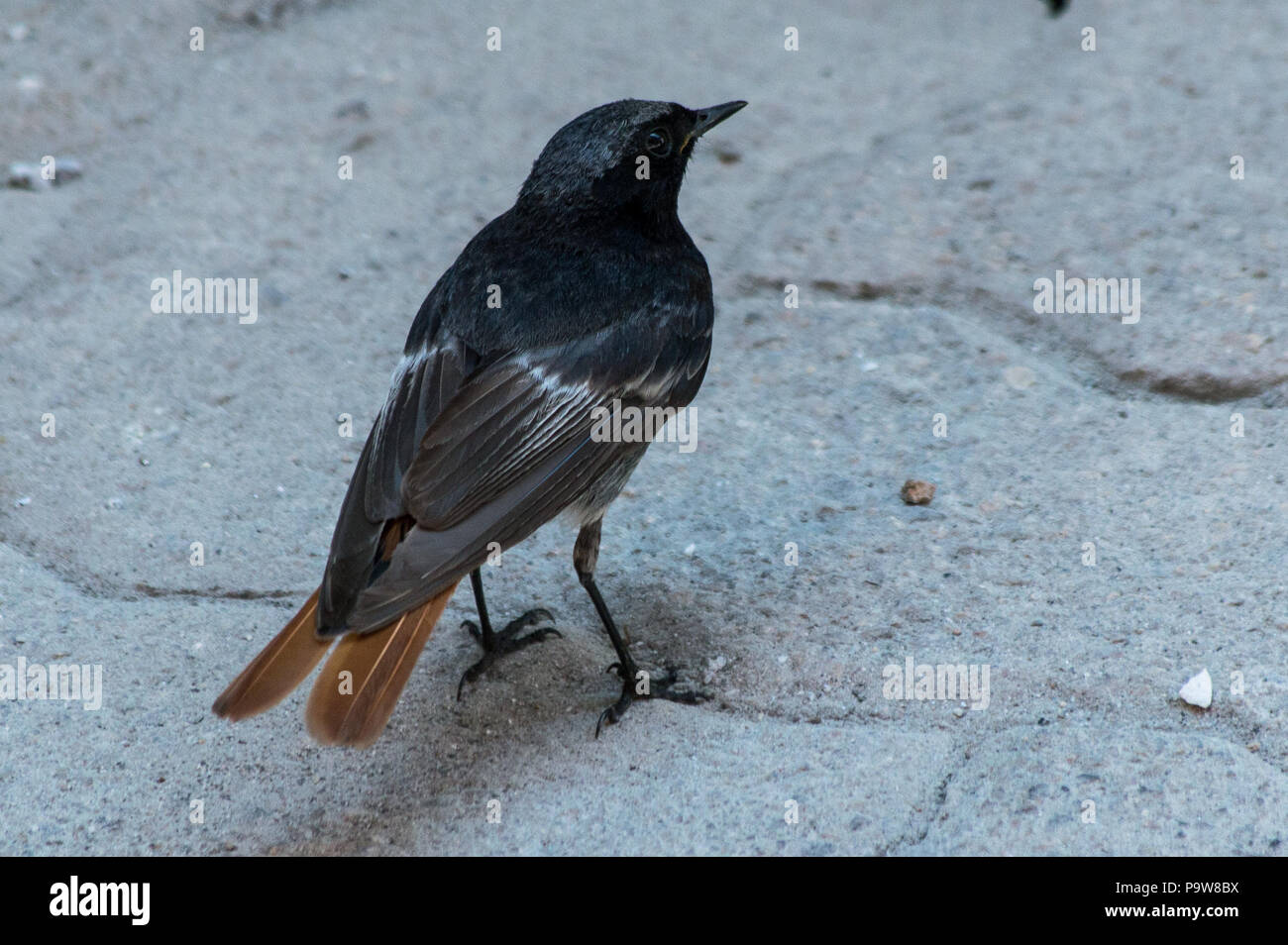 Black redstart photographated in Italy, Piedmont. Un codirosso spazzacamino fotografato in Piemonte, Italia. - Stock Image