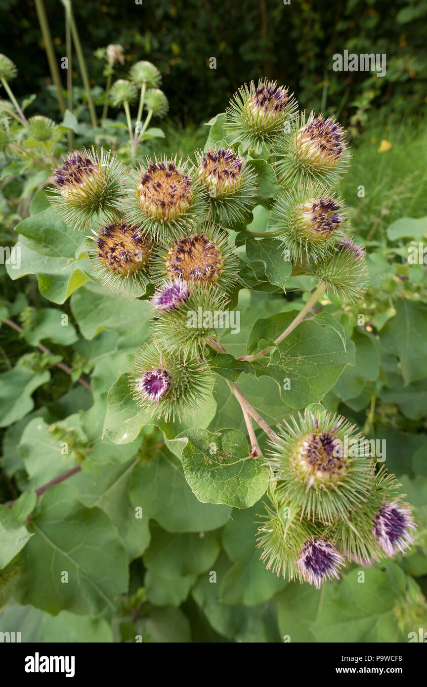 Purple flowers of large mature burdock flower like a thistle flowers with barbs and hooks idea behind velcro, crochet bur, used for light mead - Stock Image