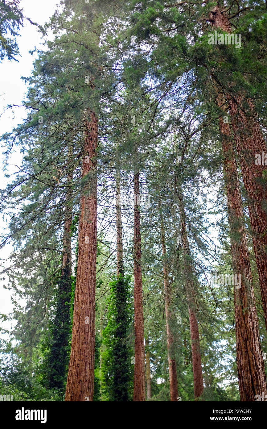 Center Parcs Longleat Forest Warminster - Giant Redwoods Sequoiadendron giganteum that were planted in the 1850's by the Marquis of Bath - Stock Image